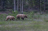 Grizzly, Alaska Highway, June 21 2012