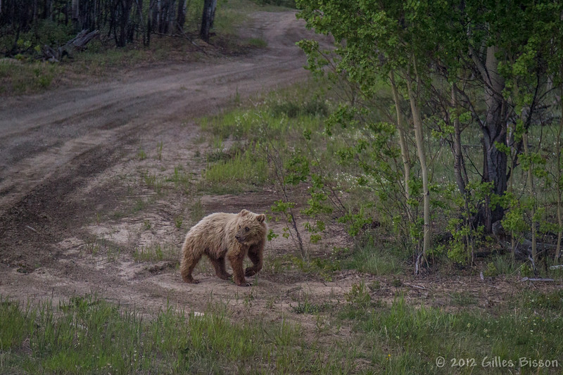 Grizzly Cub, Alaska Highway, June 21 2012