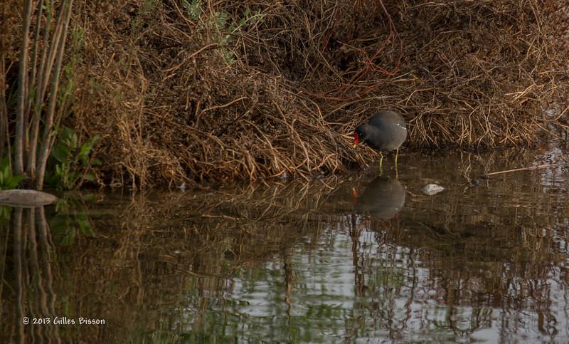 Common Moorhen, Henderson Bird Preserve, April 03 2013, #0487