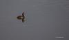 Eared Grebe, Henderson Bird Preserve, Nevada, April 03 2013, #0446