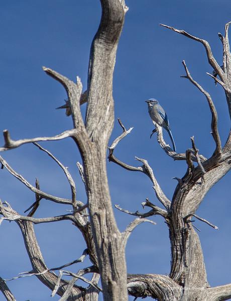 Western Scrub Jay, Grand Canyon South Rim, Nevada, April 06 2013, #1338