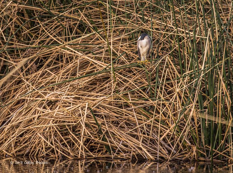 Sleeping Black-crowned Night-Heron, Henderson Bird Preserve, Nevada, April 03 2013, #0576