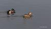 Northern Shovelers, Henderson Bird Preserve,Nevada, April 3 2013 #0648
