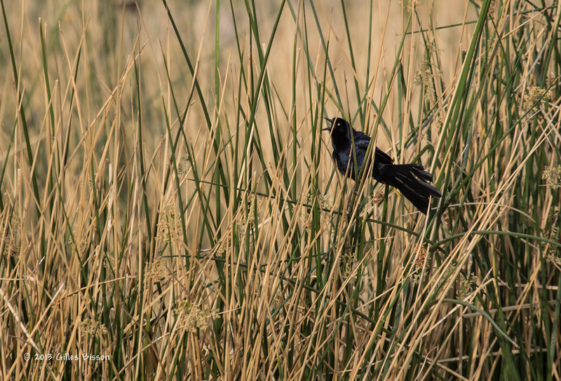 Great-tailed Grackle, male,Henderson Bird Preserve, Nevada, April 03 2013, #0557