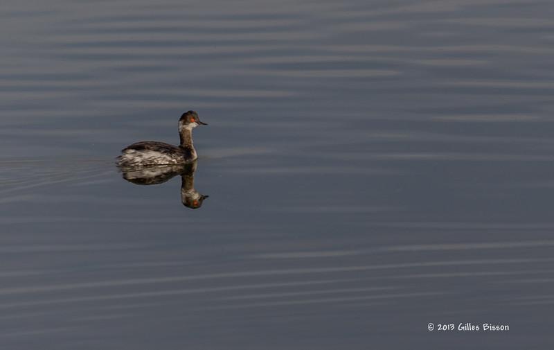 Eared Grebe, Henderson Bird Preserve, Nevada, April 03 2013, #0626