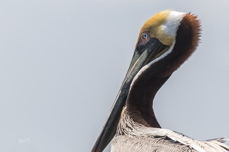 Brown Pelican, Murrells Inlet, South Carolina,Canon 7d MarkII, 1/1250, F7.1, ISO 320
