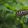 Butterfly, Brookgreen Gardens, South Carolina, April 16, 2017, Canon 7D MarkII, 1/1000, f7.1, ISO 500