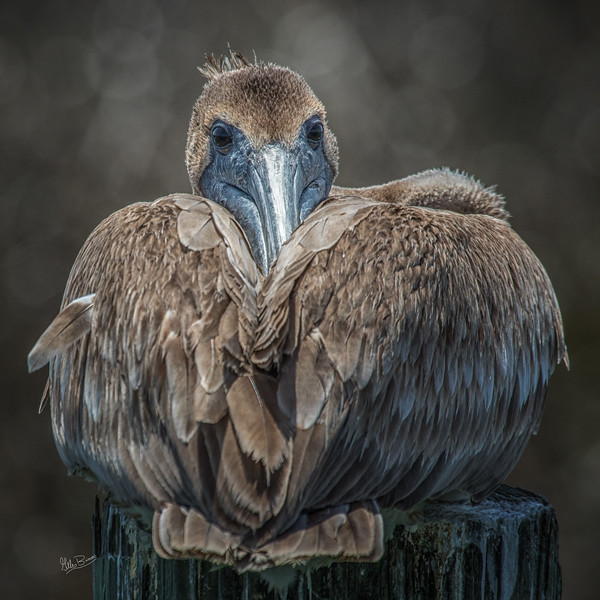 Brown Pelican, Murrells Inlet, South Carolina,Canon 7d MarkII, 1/1250, F7.1, ISO 250