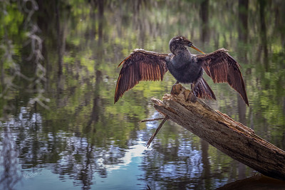 Anhinga , Magnolia Plantation, Charleston, South Carolina, April 12, 2017, Canon 6D, 1/100, F8.0, ISO 200