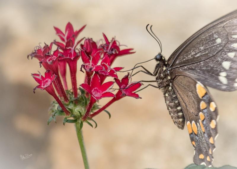 Butterfly, Brookgreen Gardens, South Carolina, April 16, 2017, Canon 7D MarkII, 1/640, f7.1, ISO 400