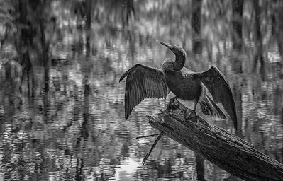 Anhinga in Black and White, Magnolia Plantation, Charleston, South Carolina, April 12, 2017, Canon 6D, 1/100, F8.0, ISO 200