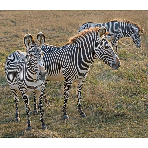 """Zebra at The Wilds:  <a href=""""http://www.thewilds.org"""">http://www.thewilds.org</a>"""