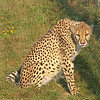 "Cheetah at The Wilds:  <a href=""http://www.thewilds.org"">http://www.thewilds.org</a>"