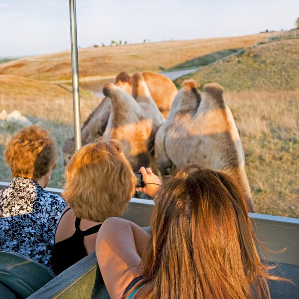 """Fascination with the camels at The Wilds:  <a href=""""http://www.thewilds.org"""">http://www.thewilds.org</a>"""