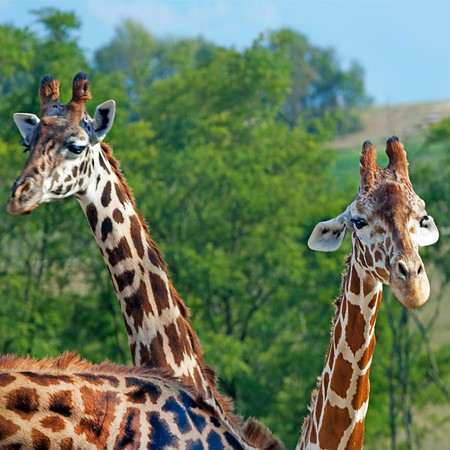 "Giraffes at The Wilds:  <a href=""http://www.thewilds.org"">http://www.thewilds.org</a>"