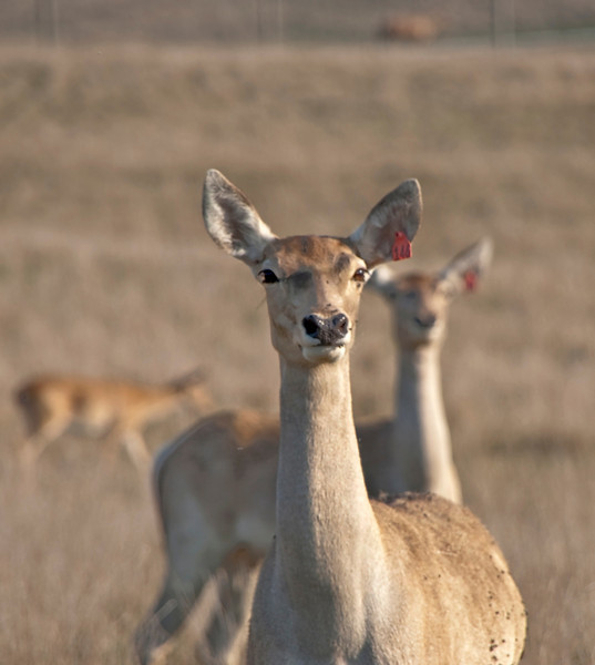 """Deer at The Wilds:  <a href=""""http://www.thewilds.org"""">http://www.thewilds.org</a>"""