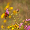 "Butterfly and wildflowers at The Wilds:  <a href=""http://www.thewilds.org"">http://www.thewilds.org</a>"
