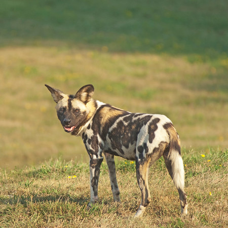 "African wild dog at The Wilds:  <a href=""http://www.thewilds.org"">http://www.thewilds.org</a>"