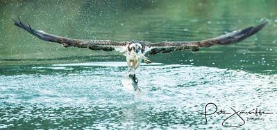 Osprey Head-on