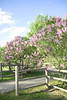 SC 87 Lilacs in Bloom
