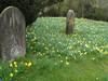 SC 238 Churchyard Daffodils