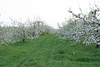 SC 15 Apple Trees in Bloom