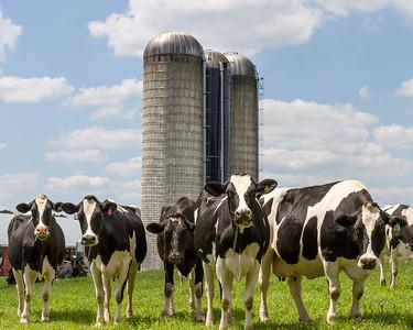 5 cows 8x10-0190