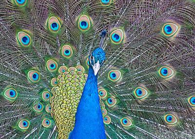 Peacock 5x72