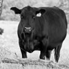 Cow 16 2 5x7