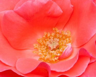 p rose