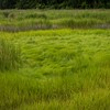 Marsh Grass sm-9682