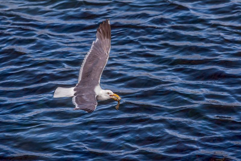 Fresh Catch Gull