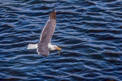 """Fresh Catch Gull"""