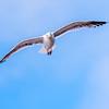 """""""Curious Gull"""""""