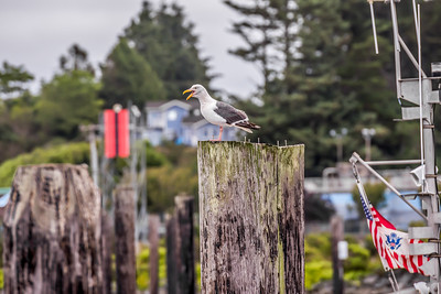 """Bandon Waterfront Gull"""