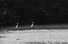 White Egrets, Old Woman's Creek (Huron, Ohio)