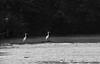 White Egrets, Old Woman's Creek (Huron, Ohio)