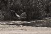 Blue Heron Taking Off, Old Woman's Creek (Huron, Ohio)