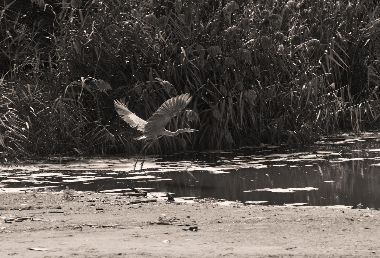 Blue Heron Taking Off, Old Woman's Creek (Huron, Ohio)