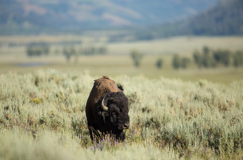 A lone bison grazes in the Lamar Valley of Yellowstone National Park. Although eradicated nearly to extinction in North America wild bison received protection under the Lacey Act of 1894 and have rebounded to graze in abundance in Yellowstone today.