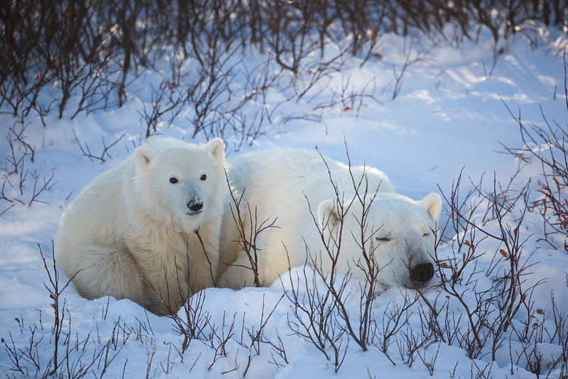 A mother polar bear and her cub of the year, snoozing away along the shores of Hudson Bay while they wait for the annual sea ice to return.