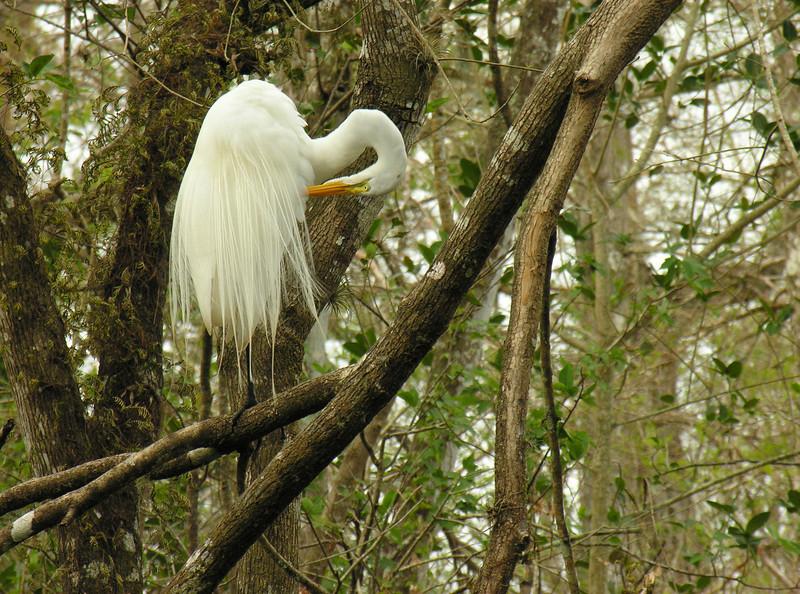 Great egret in tree<br /> Corkscrew Swamp Sanctuary, FL