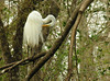 Great egret in tree<br /> Corkscrew Swamp Sanctuary, FL