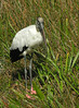 Wood stork <br /> Anhinga Trail, Everglades National Park, FL