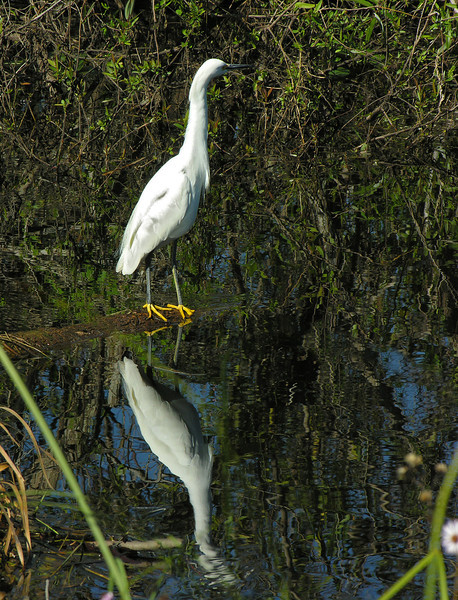 Snowy egret on log<br /> Shark Valley, Everglades National Park, FL
