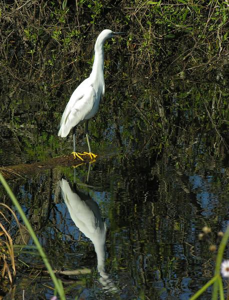 Snowy egret on log<br /> Shark Valley, Everglades National Park, FL