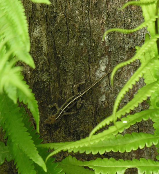 Camouflaged Cuban brown anole <br /> Corkscrew Swamp Sanctuary, FL