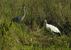 Tricolored heron & wood stork<br /> Anhinga Trail, Everglades National Park, FL
