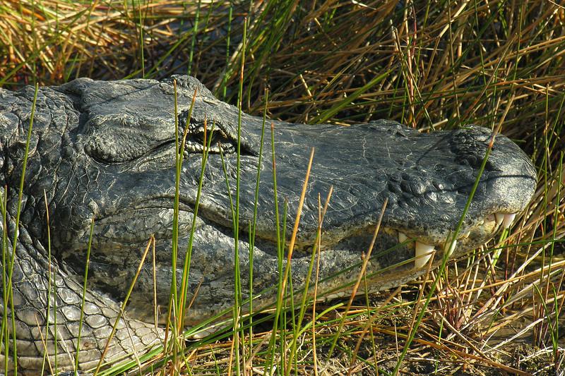 Alligator biding his time<br /> Shark Valley, Everglades National Park, FL