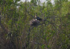 Anhinga on nest with chicks<br /> Anhinga Trail, Everglades National Park, FL